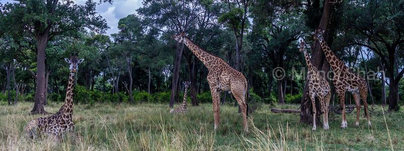 Masai Giraffes resting outside the forest in Masai  Mara.