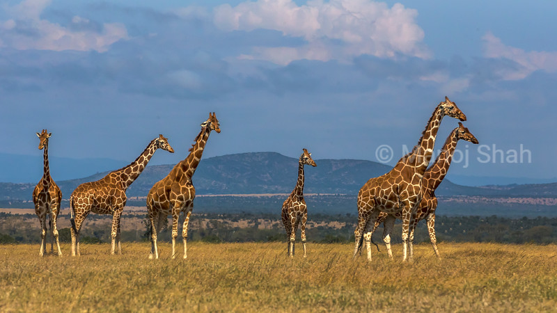 Reticulated Giraffes observing hyena walking towards them in Ol Pejeta