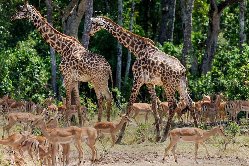 Giraffes walking to the forest past the impala herd.