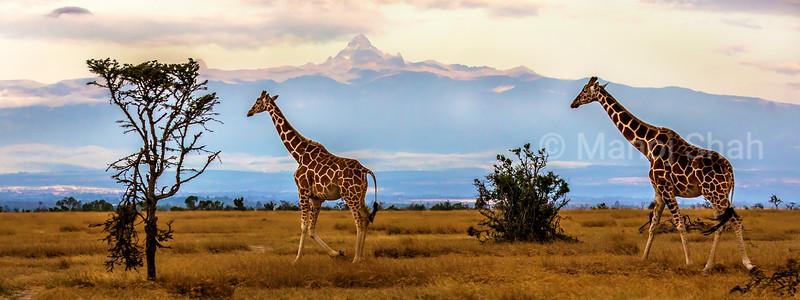 Reticulated Giraffes in front of mount Kenya at ol pejeta, Laikipia