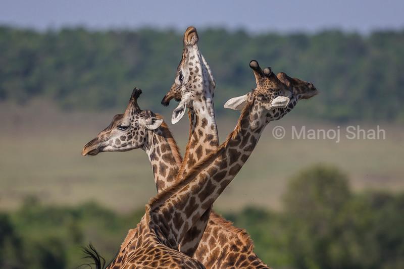 Three Masai Giraffes 'necking' in Masai Mara.