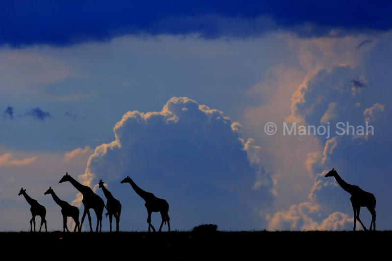 Giraffes walking on plains