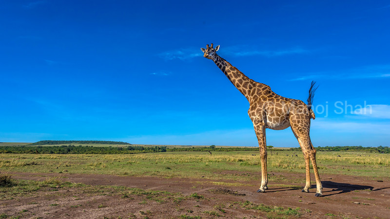 Masai Giraffe Basking in the sun in the savanna in Masai Mara.<br /> Humans from concrete jungles get rid of stress and worries in this natural environment as there is no battle for wealth here.