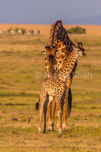 Giraffe mother grooming baby.