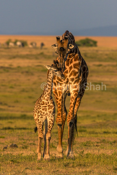 Giraffe mother grooming baby.
