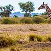 Gitaffes running on the plains