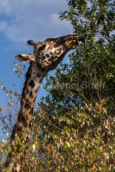 Giraffe browsing bush leaves in Masai Mara