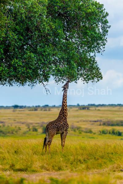 Giragge reaches to high leaves on a tree in Masai Mara