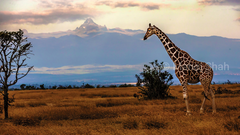 Reticulated Giraffe in front of mount Kenya at ol pejeta, Laikipia