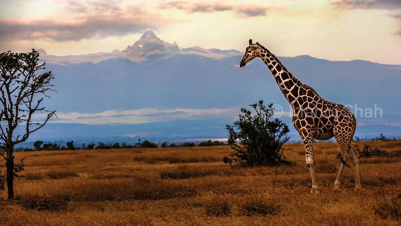 Reticulated Giraffe in front of mount Kenya at ol pejeta, Laikipia