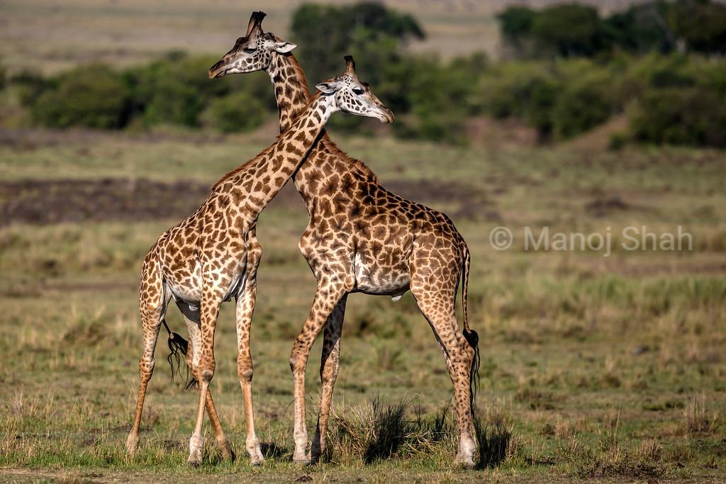 Giraffes necking - a courtship ritual