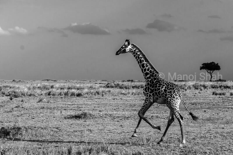 Giraffe running on Masai Mara Plains.