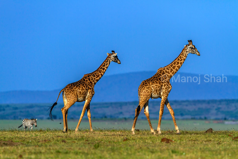 Giraffes and zebra walking on the Masai Mara savanna.