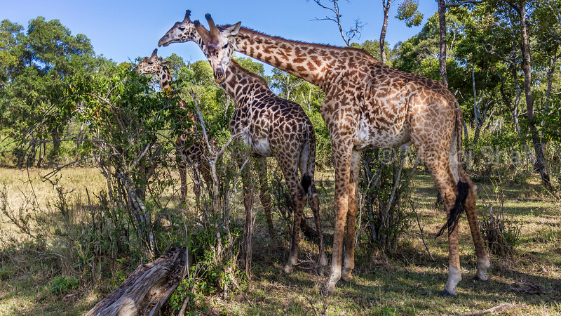 giraffes emerging from the forest.