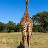 Giraffe looking into the forest,