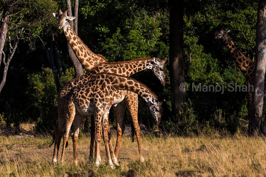 giraffes necking.