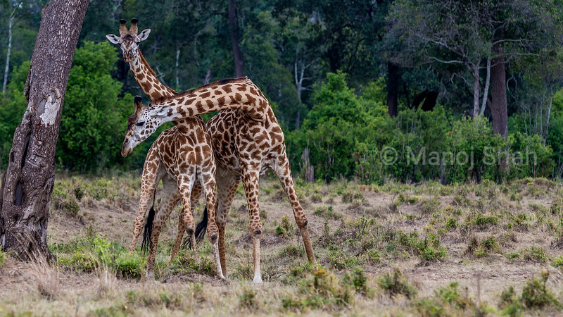 Masai giraffes 'necking' in Masai Mara.