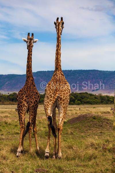 Two Giraffes walking away