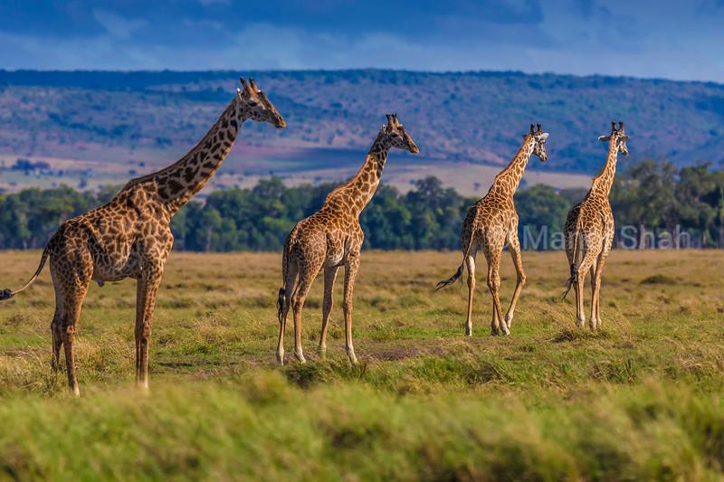Girakkes walking in the Masai Mara.