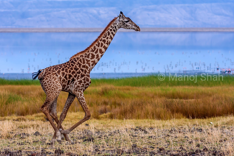 Giraffe running along Lake Natron shore.