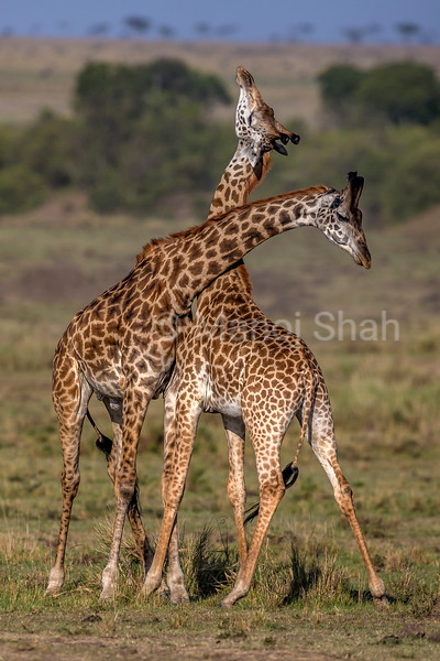 Giraffe youngsters play fighting in Masai Mara.