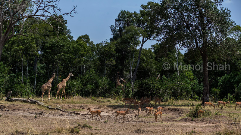 Giraffes wandering in to the forest amidst female impala herd in Masai Mara.