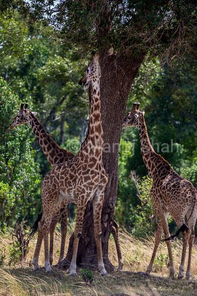 Giraffe browsing top tree leaves in Masai Mara.