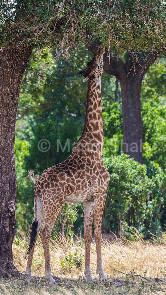 Browsing Giraffe reaching for the higher tree leaves.