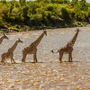 Giraffes crossing river
