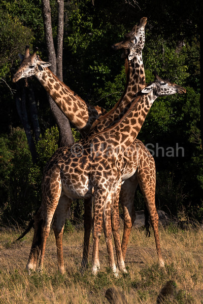 giraffes necking.