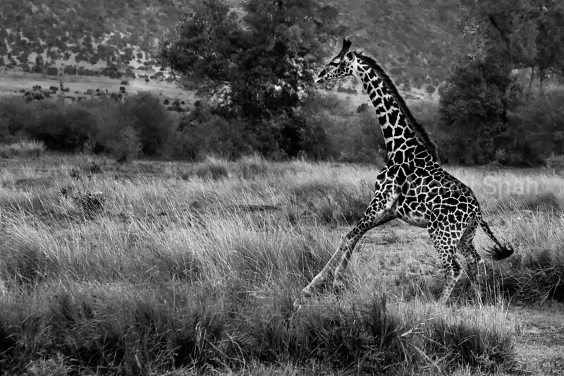 Young Giraffe running to the rest of the family members in Masai Mara.