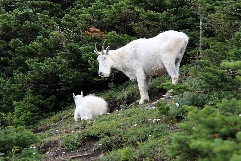 Mountain Goats, Logan Pass Trail