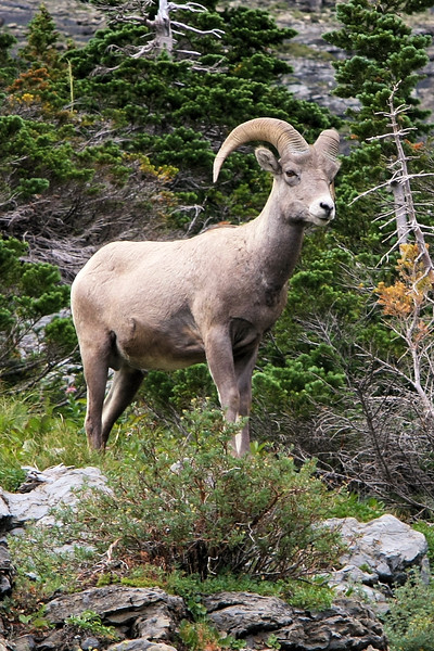 Big Horn Sheep, Siyeh Bend