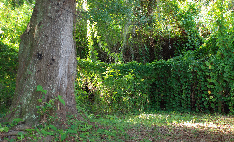 Large oak in the side yard surrounded by vine covered fence.
