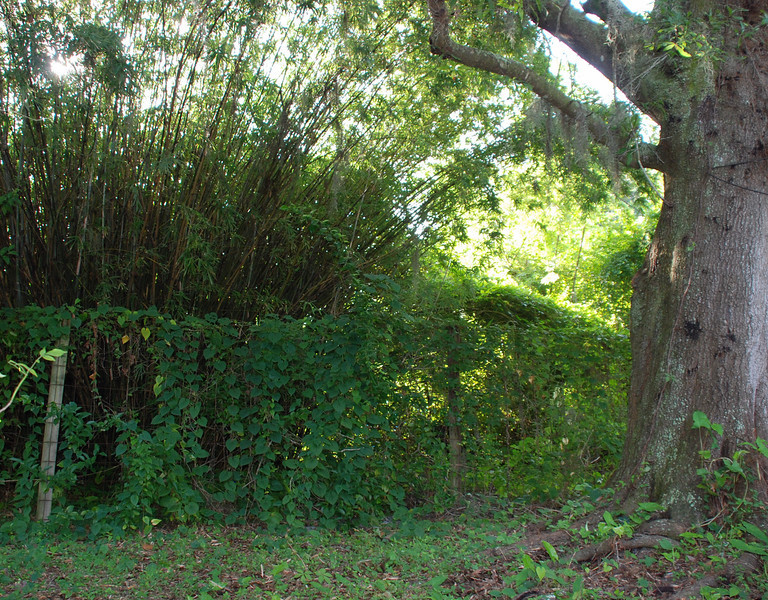 Large oak in the side yard surrounded by vine covered fence, as well as a large stand of bamboo in the background.