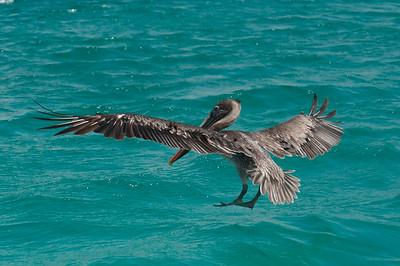 Galapagan Pelican