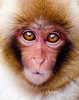 JUVENILE MACAQUE (Snow Monkey)