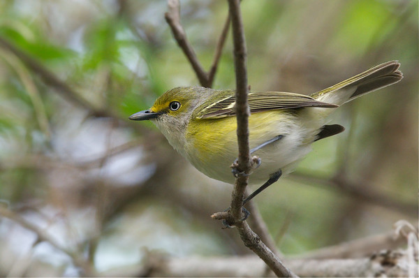 White-eyed Vireo up close • Magee Marsh Wildlife Area, OH, USA • 2015