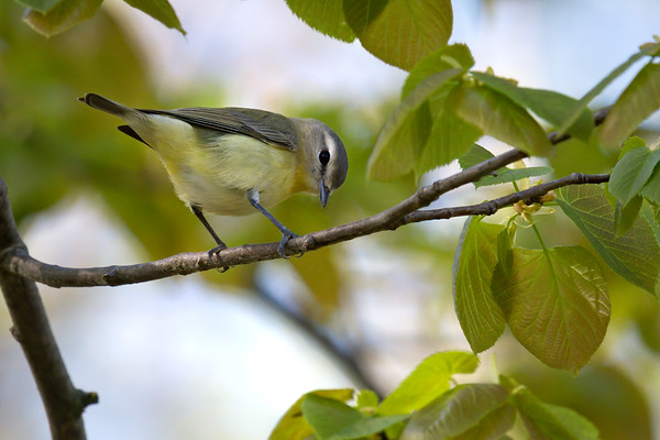 Philadelphia Vireo • West Barrier Bar Park, Fairhaven NY • 2020