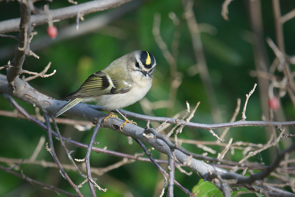 Golden-crowned Kinglet shows off its crown • Onondaga Lake West Shore Trail, Syracuse NY • 2020