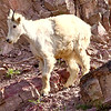 Baby mountain goat near the Goat Lick