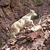 Near the Goat Lick at the southern tip of Glacier National Park, a baby mountain goat scampers over the rocks like an old pro.
