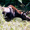 Bull moose feeding in a pond just off Going-to-the-Sun Road