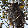 A great horned owl in Traverse City off Silver Lake Road didn't seem too excited to see the photographer. Photo by Jennifer Grochowalski.