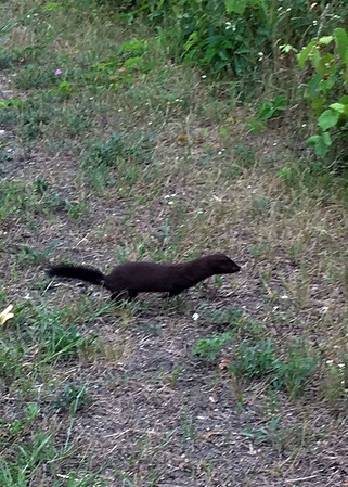 A mink runs near the Grand Traverse Commons. Photo by Janice Cleland.