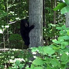 Bear cub in a South Arm of Lake Charlevoix backyard. Photo by Bob Brzak.