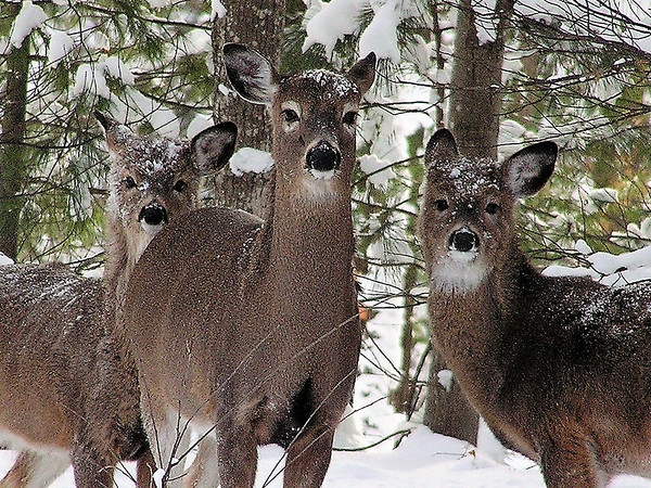 Up to five deer at once has ventured up to Chuck Karpinski's Rennie Lake birdfeeders and stared at the human inhabitants within. Karpinski shoots with a 1983 Camedia C-740.  Photo by Chuck Karpinski.