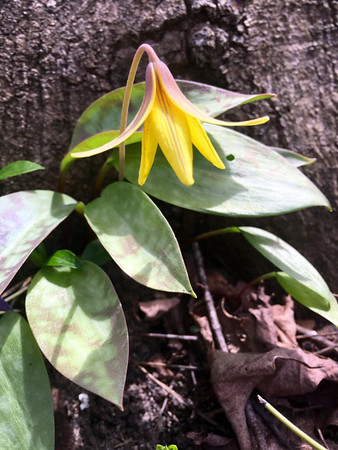 A trout lily blooms near Rapid City. Photo by Sue Gates.
