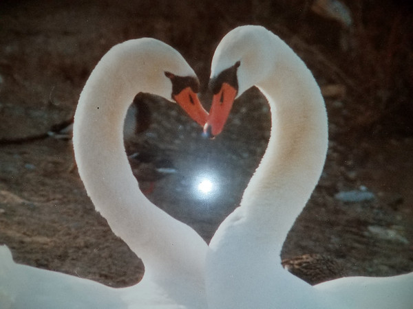 Swans create a heart shape at Logan's Landing. Photo by Jerry Mikowski.