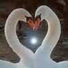 Swans create a heart shape at Logan's Landing. Photo by Jerry Mikowski.